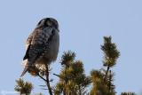Ulula-Northern Hawk Owl (Surnia ulula)