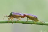 Elasmostethus interstinctus