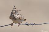 Cappellaccia-Crested Lark (Galerida cristata)