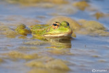Rana verde iberica-Iberian Green Frog (Rana peretzi)