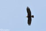 Aquila imperiale spagnola - Spanish Imperial Eagle (Aquila adalberti)