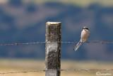 Averla maggiore meridionale -Southern Grey Shrike(Lanius meridionalis)