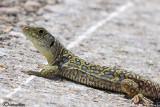 Lucertola ocellata- Ocellated Lizard (Timon lepidus )