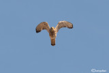 Grillaio- Lesser Kestrel (Falco naumanni)