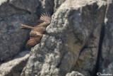 Nibbio bruno-Black Kite (Milvus migrans)