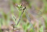 Macronemurus appendiculatus female
