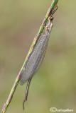 Macronemurus appendiculatus male