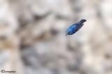 Passero solitario-Blue Rock Thrush (Monticola solitarius)