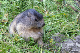 Marmotta-Alpine marmot  (Marmota marmota)
