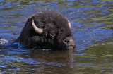 swimming bison in Yellowstone NP