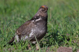 blue grouse calling