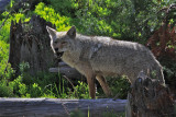 coyote eating a vole