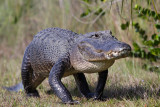 alligator, everglades
