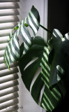 Shadows on Split  Leaf Philodendron