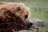 Dog  or Bear.....???? Really Fuzzy!
