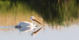 Lone Pelican #2