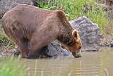 Bear Drinking...