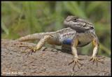 Blue Bellied Lizard?