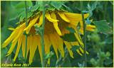 Sunflower in Jail