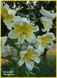 Huge White Lilies