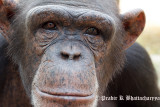 An old Chimp at Chimphunsi, Chingola