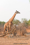 Giraffe at South Luangwa