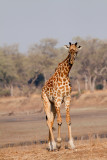 Thornicroft Giraffe at South Luangwa