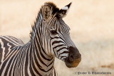 Zebra at Livingstone