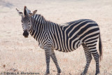 A Grazing Zebra at South Luangwa
