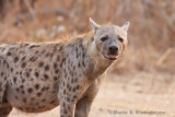 Hyena at South Luangwa, Zambia