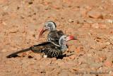 Red Billed Hornbill - A Pair