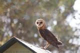 Barn Owl at Nsobe Bush Camp, Zambia