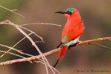 Southern Carmine Bee eater