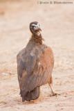 Black Hooded Vulture