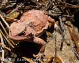 Short Horned Lizard (DSC09217w.jpg)