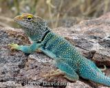 Common Collared Lizard (DSC01446w.jpg)