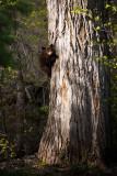 Black Bear Cub 6_1_11.jpg