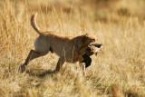 Wasatch Hunting Retriever Club Hunt Test 03-31-12.jpg
