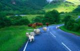 Livestock in the Glen