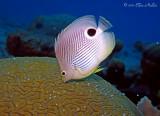 Daytime Brain Coral Spawning