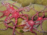 Brittle Star Orgy