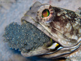 Banded Jawfish with Eggs