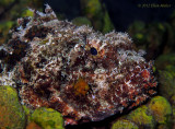 Chocolate Scorpionfish