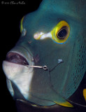 Hooked Angelfish