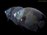 Mating Angelfish