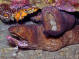 Mating Morays
