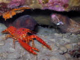 Lobster and Morays