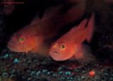 Rusty Goby Pair