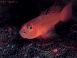 Rusty Goby