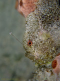 Little Frogfish